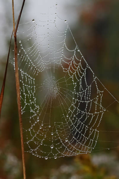 Spiderweb Photograph - Out In The Morning Dew by Susan Capuano
