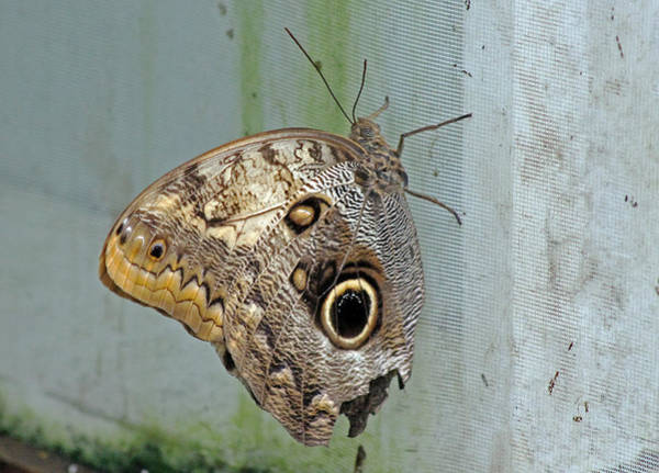 Photograph - Owl Butterfly by Tony Murtagh