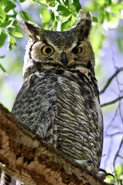 Photograph - Owl by Melany Sarafis