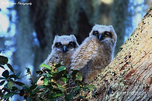 Photograph - Owl Twins by Barbara Bowen
