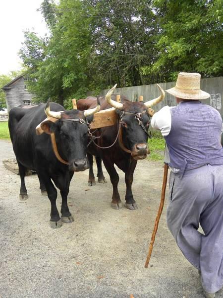 Photograph - Oxen  by Peggy  McDonald
