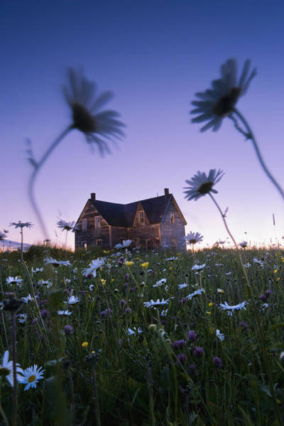 Abandonment Photograph - Oxeye Daisies And Abandoned House by Yves Marcoux