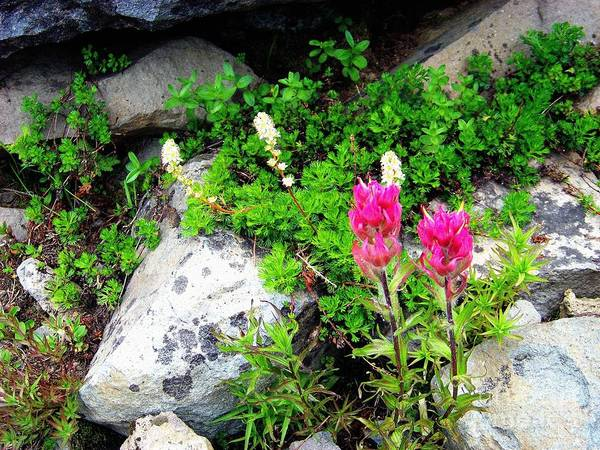 Photograph - Paintbrush And Anemone by Charles Robinson