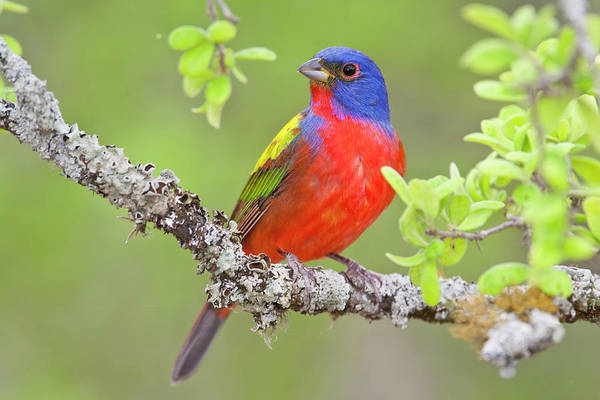 Photograph - Painted Bunting by D Robert Franz