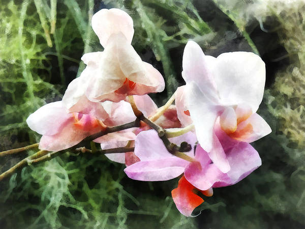 Photograph - Pale Pink Phalaenopsis Orchids by Susan Savad