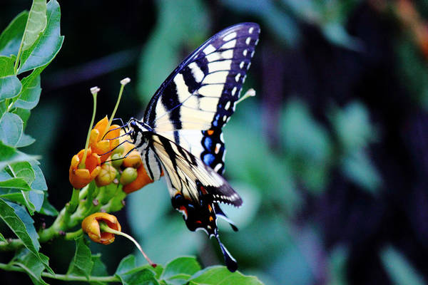 Photograph - Pale Swallowtail Butterfly-2 by Barry Jones