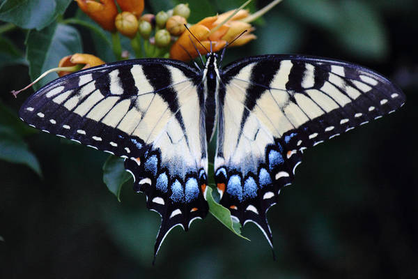 Photograph - Pale Swallowtail Butterfly-3 by Barry Jones
