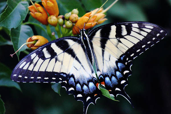 Photograph - Pale Swallowtail Butterfly by Barry Jones