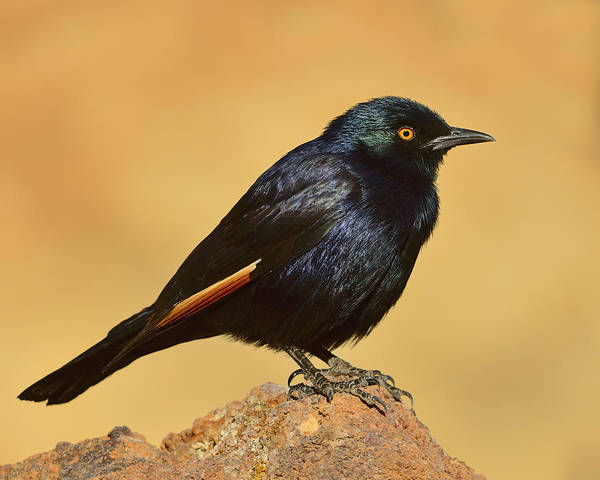 Photograph - Pale-winged Starling by Tony Beck