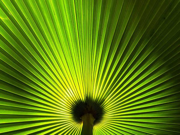 Photograph - Palm Leaf by Daniel Marcion