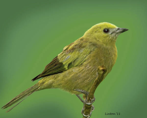 Photograph - Palm Tanager by Larry Linton