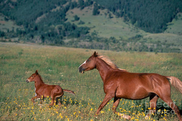 Mare And Foal Photograph - Palomino Colt And Mare  by Alan and Sandy Carey and Photo Researchers