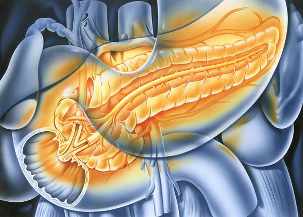 Common Bile Duct Photograph - Pancreas by John Bavosi