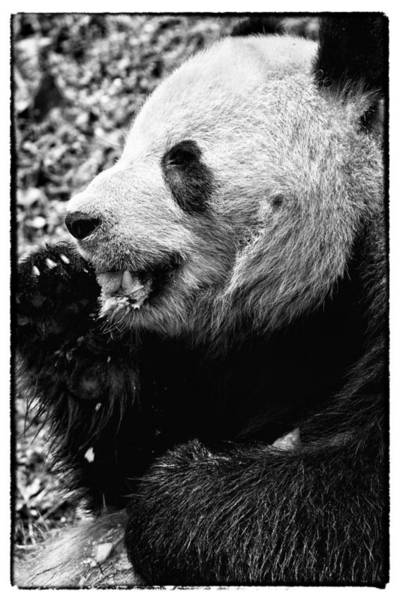 Photograph - Panda Bear Eating Ice Cream by Perla Copernik