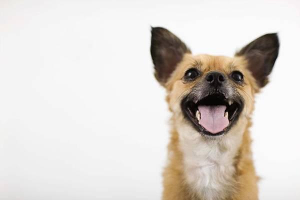 Poodle Photograph - Panting Dog by Jupiterimages