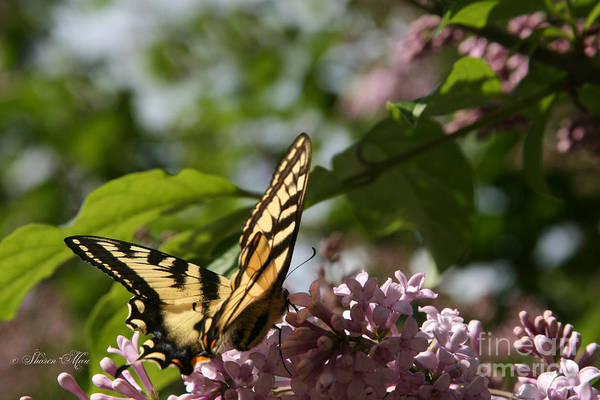 Photograph - Papilio Glaucus   Eastern Tiger Swallowtail  by Sharon Mau