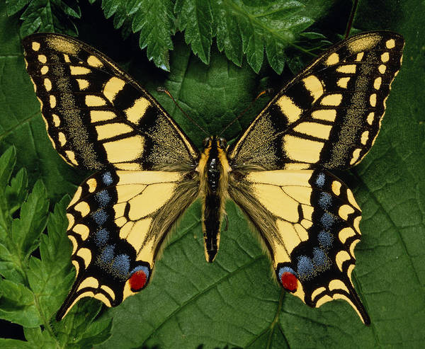Wall Art - Photograph - Papilo Machain Britannicus, Swallowtail Butterfly by Sinclair Stammers