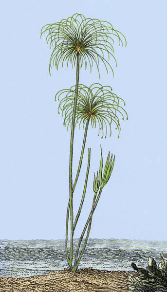 Bulrush Wall Art - Photograph - Papyrus Reeds by Sheila Terry
