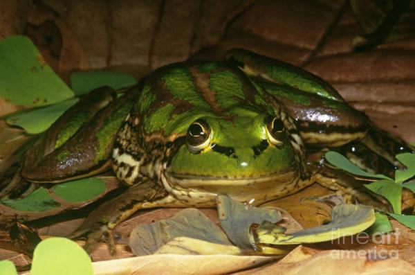 Paradox Photograph - Paradox Frog by Dante Fenolio