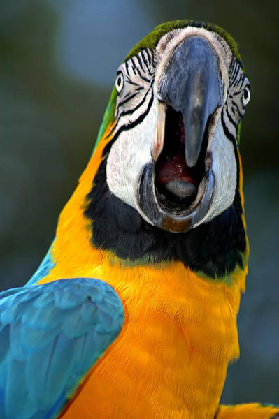 Squawk Photograph - Parrot Squawking by Carolyn Marshall