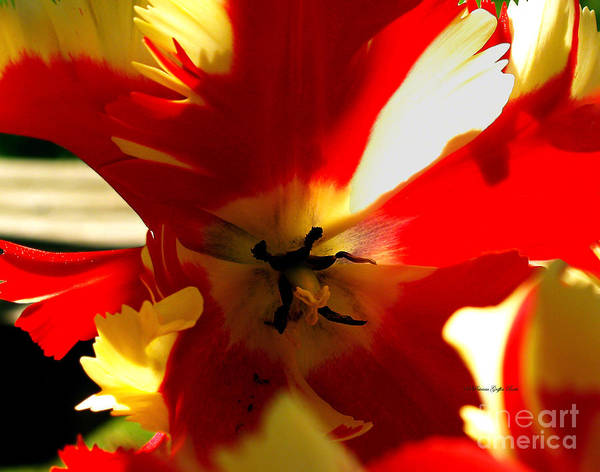 Photograph - Parrot Tulip I by Patricia Griffin Brett