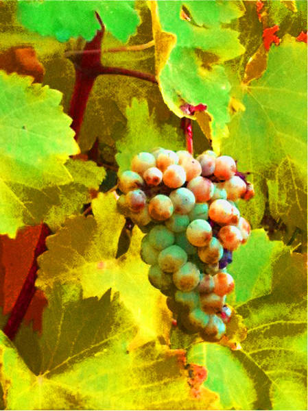 Photograph - Paschke Grapes by Kathy Corday