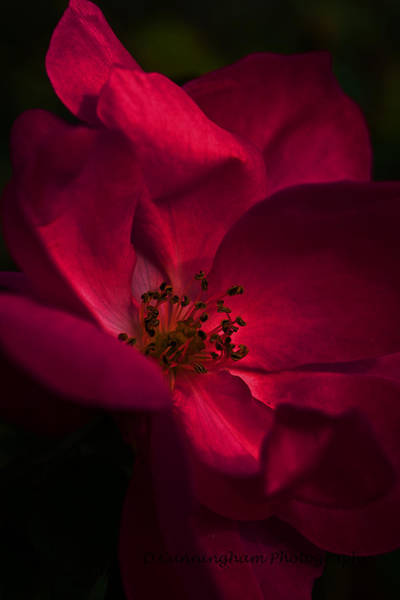 Photograph - Passing Rose by Dorothy Cunningham