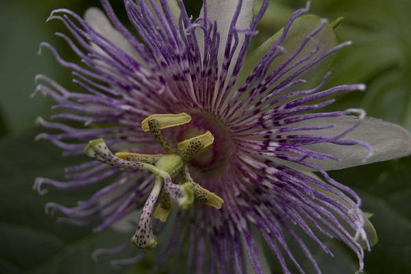 Photograph - Passion Flower by Margaret Denny