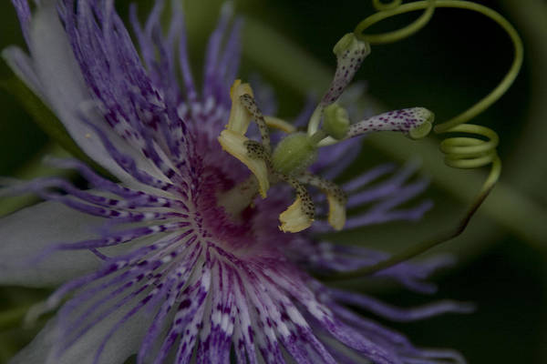 Photograph - Passion Flower's Tendril by Margaret Denny
