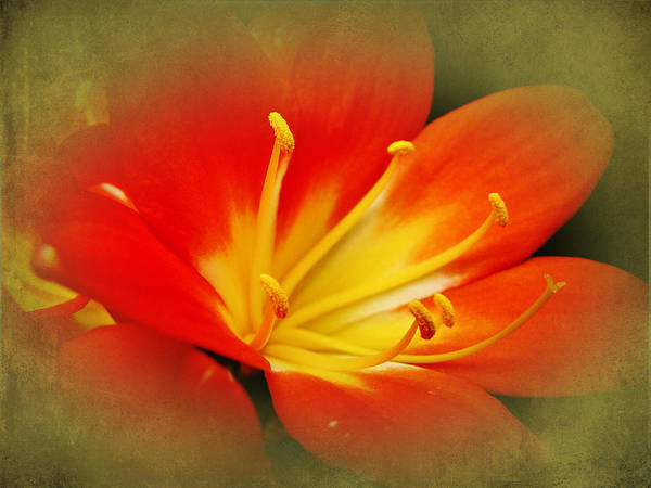 Clivia Wall Art - Photograph - Passionate Red by Mother Nature