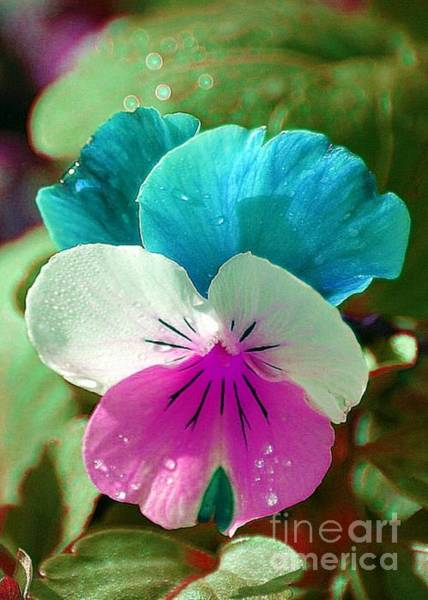 Photograph - Pastel Pansy by Donna Bentley
