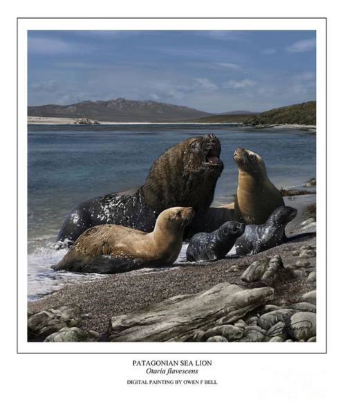 Patagonian Sea Lion Bull With Harem And Pups Art Print by Owen Bell