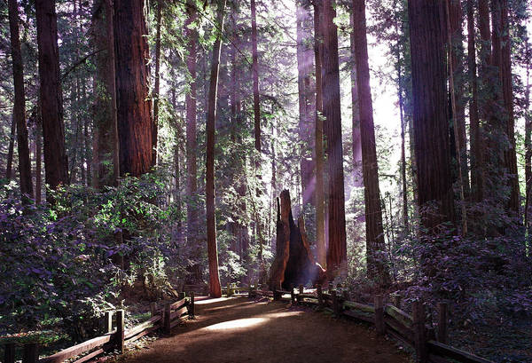 Redwoods Photograph - Path By An Ancient Redwood by Laura Iverson