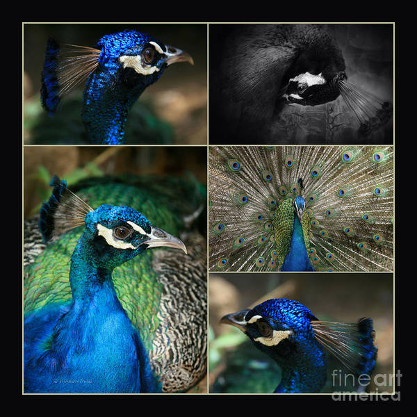 Photograph - Pavo Cristatus IIi The Heart Of Solitude  - Indian Blue Peacock  by Sharon Mau