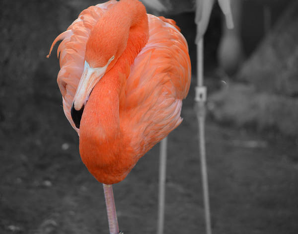 Photograph - Peaceful Flamingo by Maggy Marsh