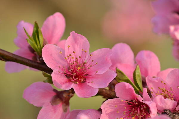 Photograph - Peach Beautiful by JD Grimes