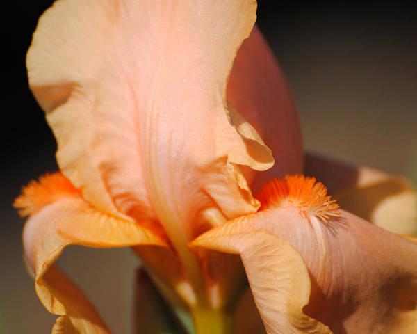 Photograph - Peach Iris Flower IIi by Jai Johnson