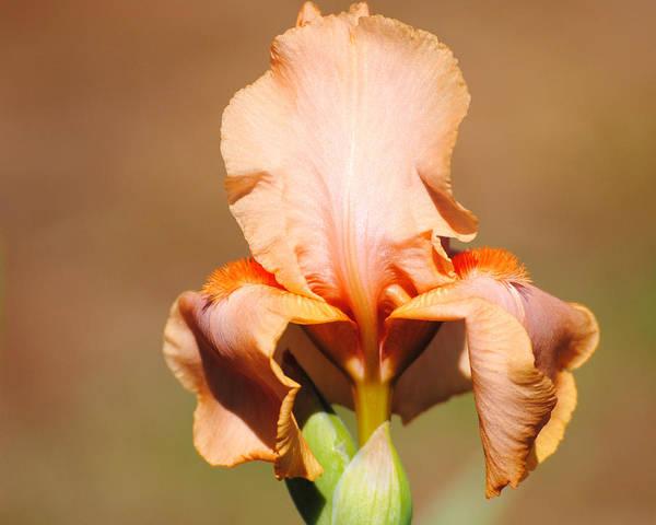 Photograph - Peach Iris Flower by Jai Johnson