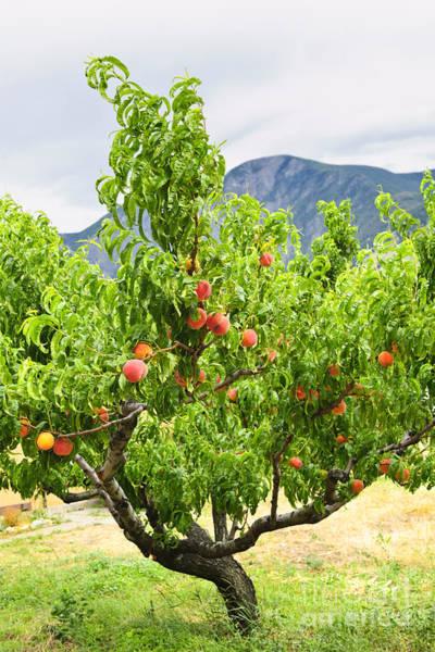 Okanagan Wall Art - Photograph - Peaches On Tree by Elena Elisseeva