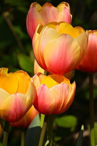 Photograph - Peachy Tulips by Byron Varvarigos