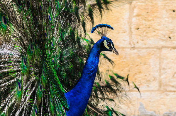 Photograph - Peacock by Michael Goyberg