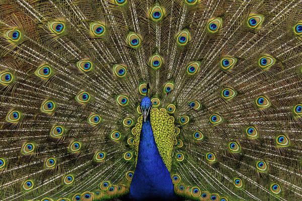 Photograph - Peacock Strutting by Keith Allen