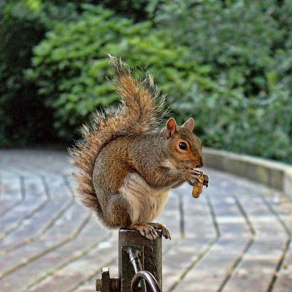 Grey Squirrel Photograph - Peanuts For Lunch by Jasna Buncic