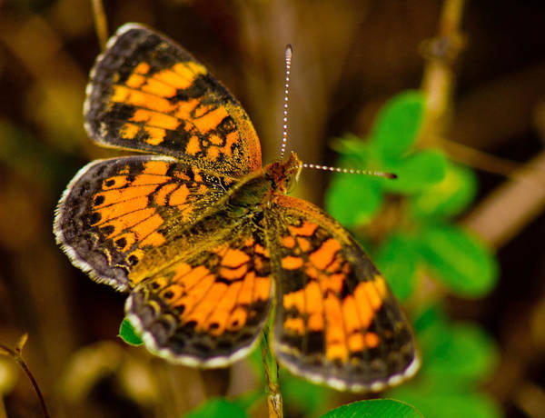 Photograph - Pearl Cresent Butterfly 2 by Barry Jones
