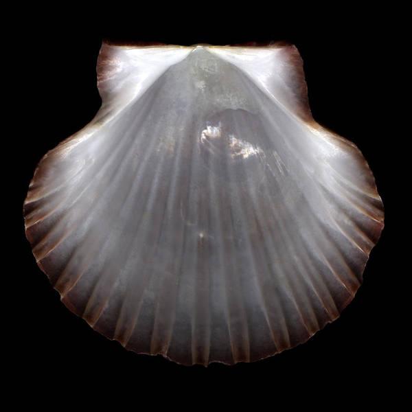 Photograph - Pearlescent Shell  by David Kleinsasser