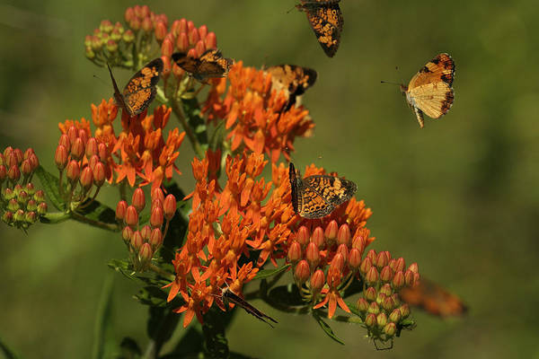 Photograph - Pearly Crescentpot Butterflies Landing On Butterfly Milkweed by Daniel Reed