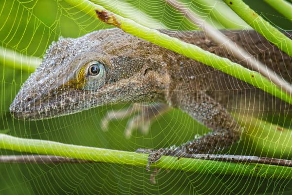 Green Anole Photograph - Peek A Boo  by Bonnie Barry