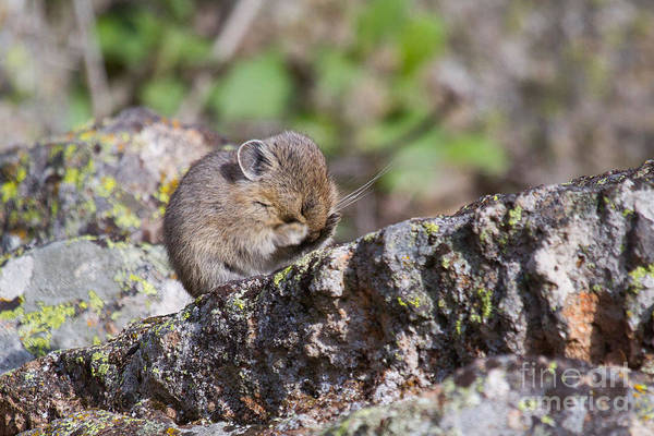 Photograph - Peek-a-boo Pika Baby by Katie LaSalle-Lowery