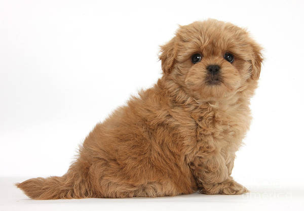 Photograph - Peekapoo Pup by Mark Taylor