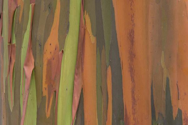 Photograph - Peeling Eucalyptus Tree Bark by Ingo Arndt